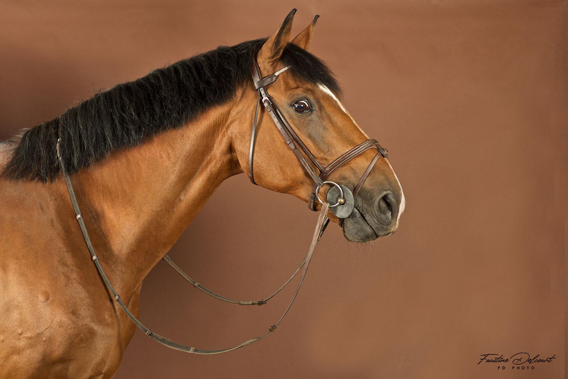 Cette photo représente un portrait de cheval sur fond marron glacé réalisé en studio photographie